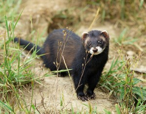 Pippa the Polecat - poll administrator, yesterday