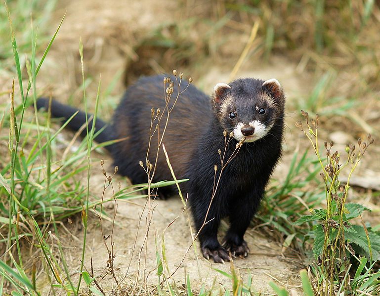 Pippa the Polecat