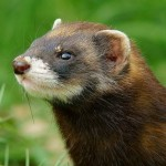 Profile photo of Pippa the Polecat
