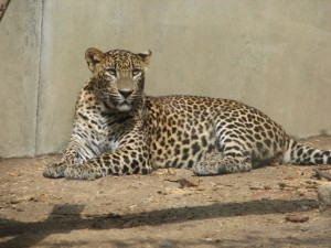 An insulin-seeking leopard