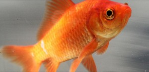 A diabetic goldfish and needless pictorial filler, yesterday