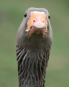 We couldn't find a picture to go with this article. So have a photo of an angry goose instead.